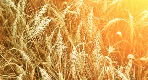 الأمم المتحدة تشتري 50 ألف طن من القمح لليمن