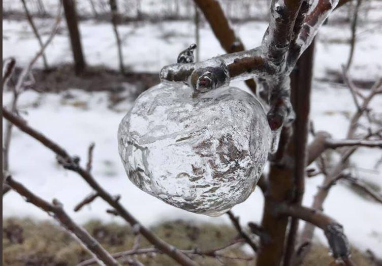 ظاهرة غريبة على الأشجار.. ظهور تفاح الجنّ!
