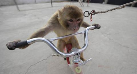 قرد يقود دراجة يخطف طفلة ويسحلها في الشارع