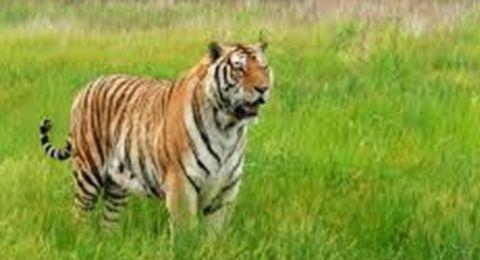 أنثى نمر تهاجم حارسة بحديقة حيوانات وتقتلها على الفور!