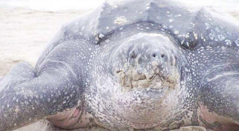 العثور على سلحفاة بحرية تزن 200 كيلوغرام نافقة على شاطئ في كولومبيا