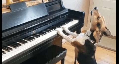 بالفيديو :لن تصدّق أذنيك.. كلب يعزف ويغنيّ