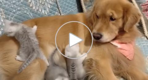 كلب يصادق قططا حديثة الولادة