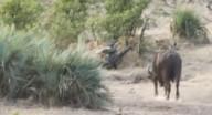 جواميس تنقذ فيلا صغيرا من قطيع أسود