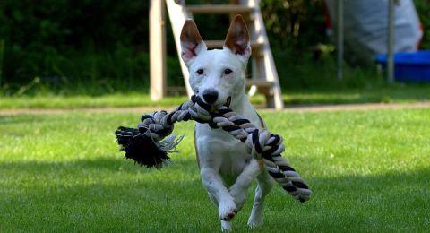 تدريب الكلاب على اكتشاف كورونا في السعودية