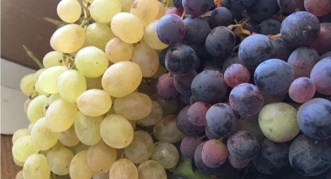 7 فوائد صحية لمستخلص بذور العنب