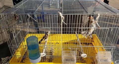 طوبا: ضبط عصافير محمية واعتقال المشتبه بصيدها