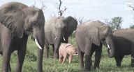العثور على فيل وردي في جنوب إفريقيا