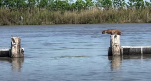 """وشق يقفز بطريقة مثيرة لـ""""مسافة طويلة"""" وسط نهر في مدينة لويزيانا"""