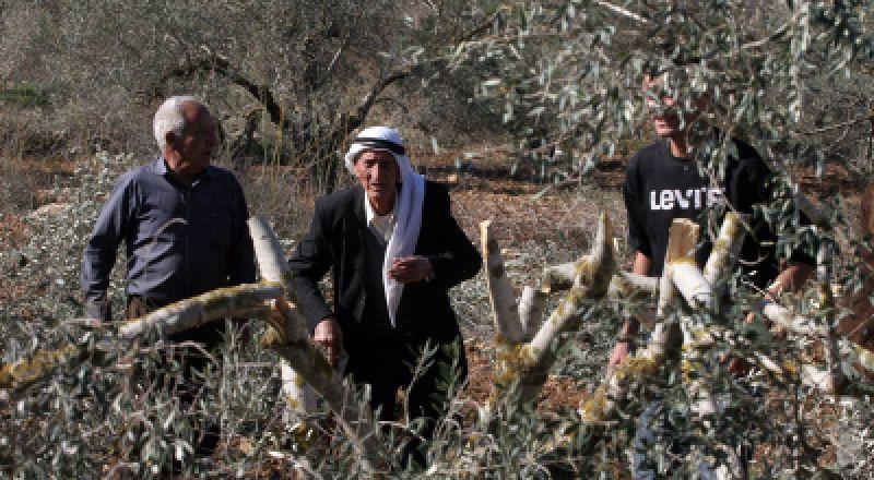 مستوطنون يقطعون عشرات أشجار الزيتون