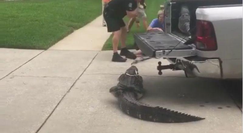 تمساح عنيد يضرب رجلا ويفقد آخر وعيه