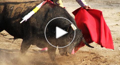 12 إصابة في مهرجان مصارعة الثيران في البيرو