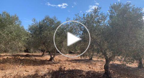 معليا: أشجار الزيتون تستغيث الامطار، وموسم شحيح