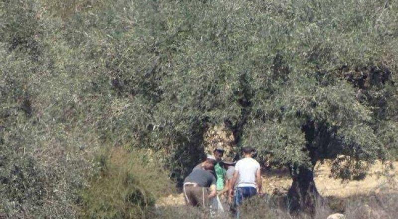 المستوطنون يصعّدون اعتداءاتهم بحق قاطفي الزيتون