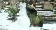 دب باندا يهاجم رجلا ثلجيا في حديقة الحيوان بموسكو