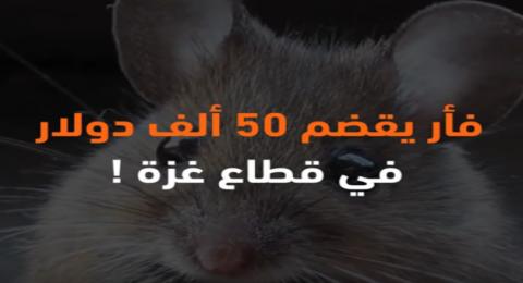 فأر يقضم 50 ألف دولار في قطاع غزة!