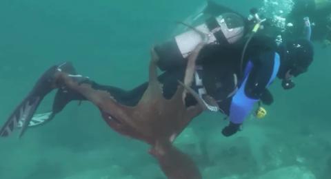 أخطبوط ضخم يحاول إغراق غطاس