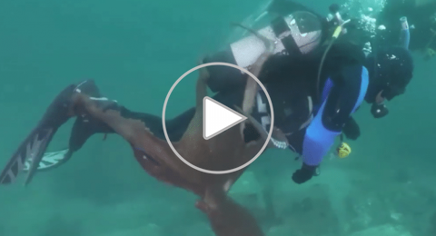 أخطبوط ضخم يحاول إغراق غواص