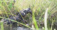 معركة شرسة بين تمساح عملاق وثعبان ضخم