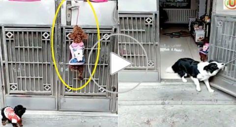 ماذا فعل هذا الكلب لمساعدة صديقه في دخول أحد المنازل؟