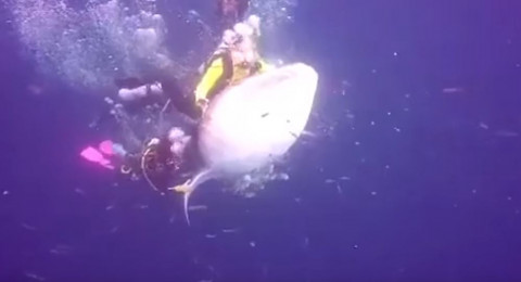 لقطات صادمة لغواصين يركبون ظهر سمكة قرش الحوت المهددة بالانقراض