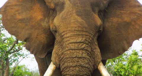 عدم إصابة الفيلة بالسرطان.. يكشف سراً طبياً!