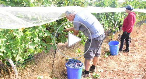 نبيذ جوليا .. فخر الصناعة المحلية الجليلية، كيف تحول من هواية إلى مهنة