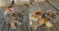 فيديو يوثّق صداقة غريبة تنشأ بين قرد وشبل نمر