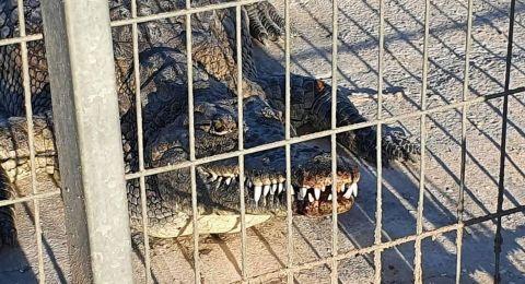 تحسن حالة الطفل الذي تعرض لعضة تمساح أمس في النقب