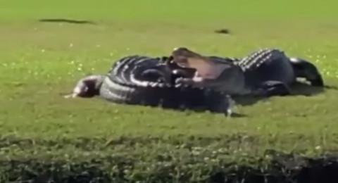 صراع شرس بين تمساحين داخل ملعب غولف