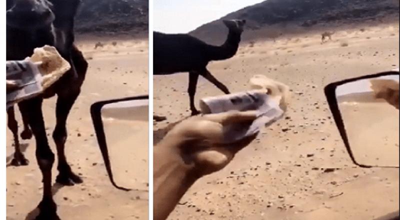 سعودي يطعم جمله مئات الأوراق النقدية ويثير غضبا واسعا