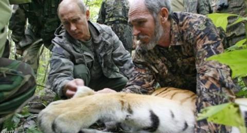 نمر بوتين يفترس 15 من الماعز بالصين