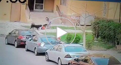 سيدة تلقي بنفسها وسط كلاب شرسة لإنقاذ طفلها