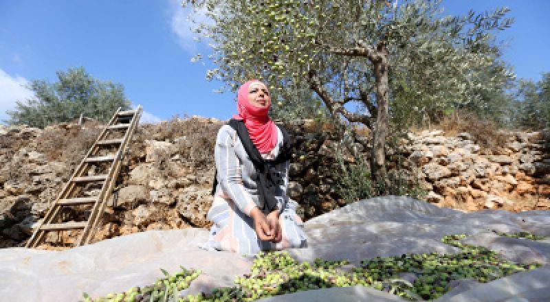 منظمات حقوقية تُطالب بحماية المزارعين خلال قطف الزيتون