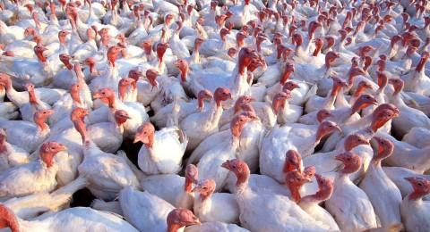 إنفلونزا الطيور تنتشر في أوروبا وبشكل خاص بألمانيا