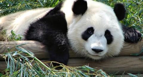 دببة الباندا تتحرك ديبلوماسيا في كوريا الجنوبية