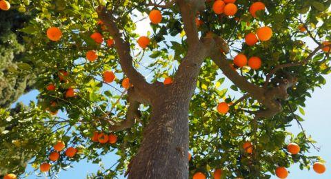 طريقة مبتكرة لجني ثمار البرتقال في إسبانيا