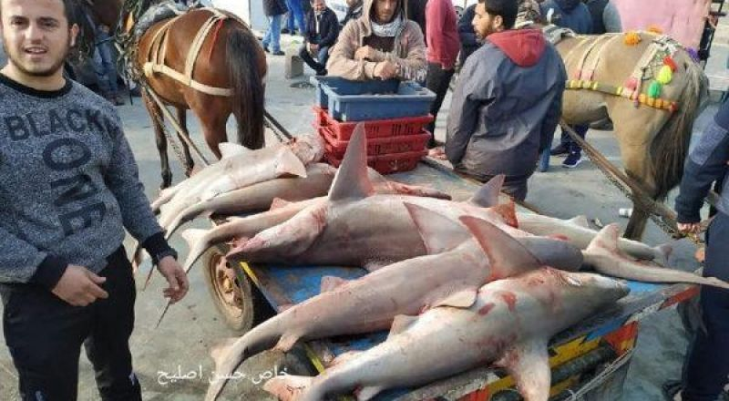 عقب توسعة مساحة الصيد.. اسماك جديدة تظهر في أسواق غزة